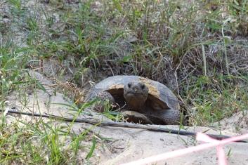 Gopher Tortoise along a trail