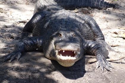 Alligator at Alligator Farm