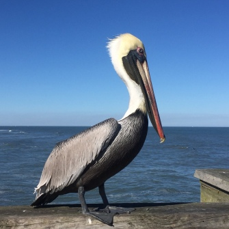 Pelican on the pier at St. Augustine Beach