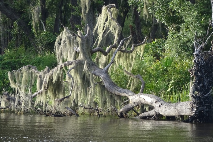 Fallen Tree by the St. Johns River