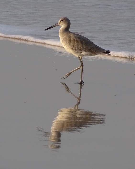 Willet reflection at the beach