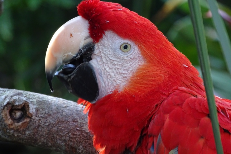 Scarlet Macaw at Alligator Farm