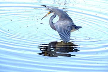 Beautiful Tricolored Heron fishing