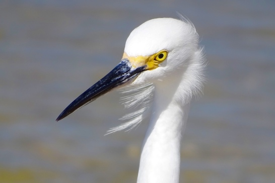 Great White Egret at Matanzas inlet