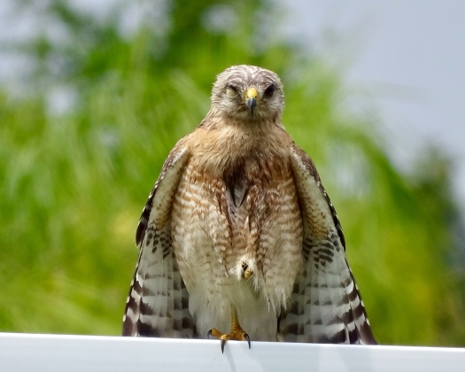 Red Shouldered Hawk on neighbor's fence