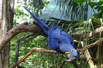 Neptune, Hyacinth Macaw at the Alligator Farm