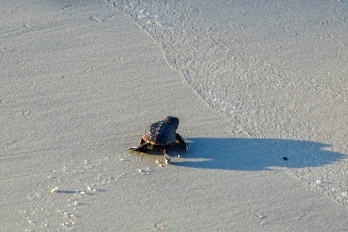 Sea turtle hatchling making his way to the sea